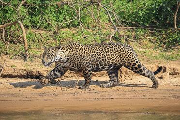 South America, Brasilia, Mato Grosso do Sul, Pantanal, Cuiaba River, Jaguar, Panthera onca, at riverside - FO006372
