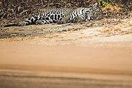 South America, Brasilia, Mato Grosso do Sul, Pantanal, Cuiaba River, Jaguar, Panthera onca, lying at riverside - FOF006375