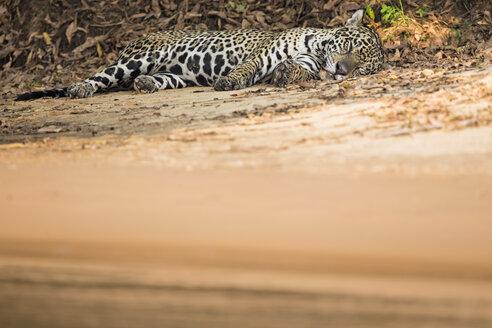 South America, Brasilia, Mato Grosso do Sul, Pantanal, Cuiaba River, Jaguar, Panthera onca, lying at riverside - FOF006375