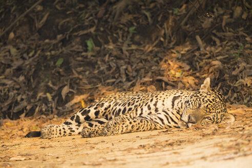 South America, Brasilia, Mato Grosso do Sul, Pantanal, Jaguar, Panthera onca, lying - FO006377