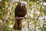 New Zealand, Pukaha Mount Bruce National Wildlife Centre, Kaka (Nestor meridionalis) - WV000574