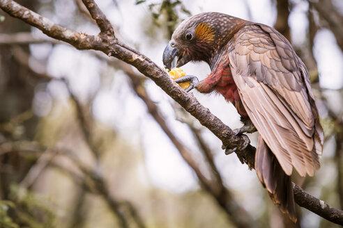 New Zealand, Pukaha Mount Bruce National Wildlife Centre, Kaka (Nestor meridionalis) - WV000571