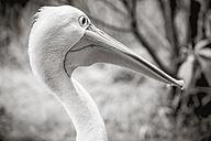 New Zealand, Wellington, Wellington zoo, portrait of masked pelican (Pelecanus conspicillatus) - WV000609