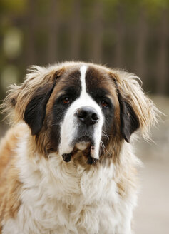 Portrait of Saint Bernard - SLF000314