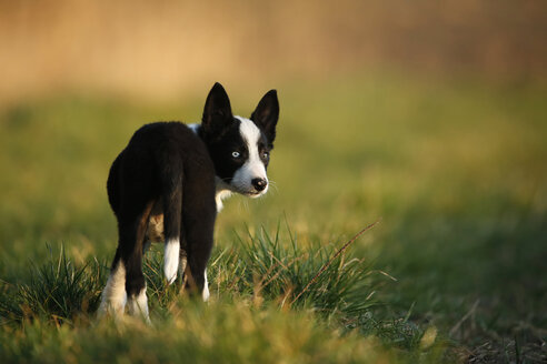 Border Collie puppy standing on a meadow - SLF000321