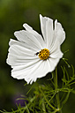 White cosmea, close up - SR000504