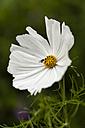 White cosmea, close up - SR000504