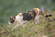 Brazil, Mato Grosso do Sul, Pantanal, Domestic cat - FO006447