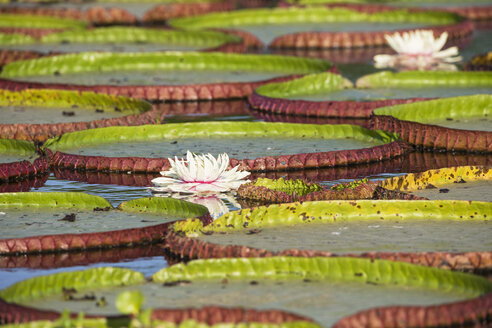 Brazil, Mato Grosso do Sul, Pantanal, Giant water lilies - FOF006451