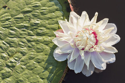 Brazil, Mato Grosso do Sul, Pantanal, Giant water lily - FO006452