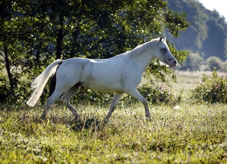 Germany, Welsh Pony trot - SLF000324