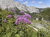 Austria, Carnic Alps, Obere Wolayer Alm, Alpine Adenostyle, Adenostyles glabra - SIEF005256