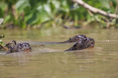 South America, Brasilia, Mato Grosso do Sul, Pantanal, Cuiaba River, Giant otters, Pteronura brasiliensis, swimming - FOF006466
