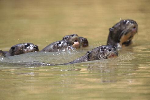 South America, Brasilia, Mato Grosso do Sul, Pantanal, Cuiaba River, European otters, Lutra lutra, swimming - FO006467