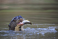 South America, Brasilia, Mato Grosso do Sul, Pantanal, Cuiaba River, Giant otter, Pteronura brasiliensis, with fish - FOF006469