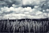 Germany, North Rhine-Westphalia, Wuppertal, Wheat ears in field - DWIF000040