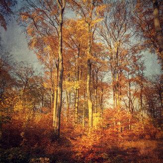 Germany, Beech forest in evening light - DWIF000037