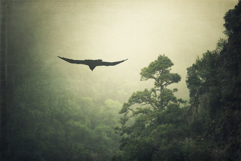 Spain, La Palma, Raven and mist-shrouded mountain - DWIF000034