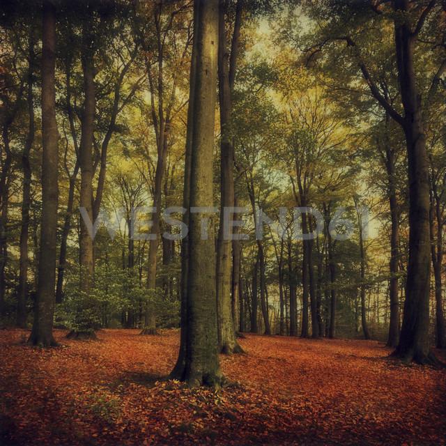Germany, Wuppertal, Red Beech, Fagus sylvatica - DWIF000025
