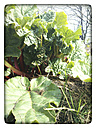 Young rhubarb plant in spring in a vegetable garden. - HAWF000072