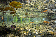 Germany, Bavaria, Goldfish in garden pond - YRF000009