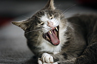 Portrait of tabby cat yawning - SLF000329