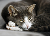 Portrait of tabby cat with half-opened eyes - SLF000326