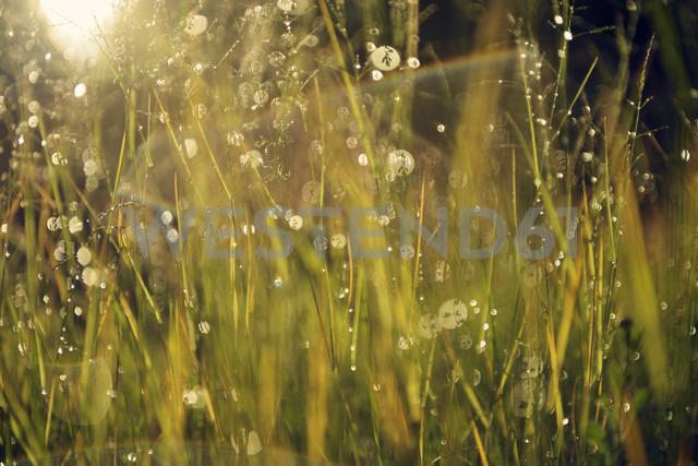 Sweden, Leksand, Drops of water on grass stalks - BR000280