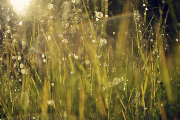 Sweden, Leksand, Drops of water on grass stalks - BR000280