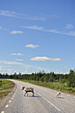 Sweden, Arvidjaur, Reindeer mother with young animal crossing road - BR000433