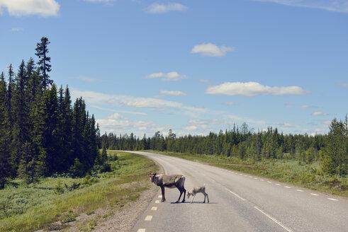 Sweden, Arvidjaur, Mother with young reindeer crossing street - BR000427