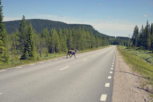 Sweden, Arvidjaur, Reindeer crossing street - BR000424