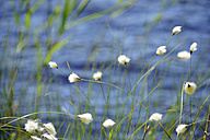 Sweden, Oernskoeldsvik, Cotton grass at lakeshore of Taernaettvattnen in Skuleskogen National Park - BR000376