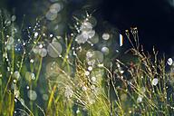 Sweden, Leksand, Drops of water on grass stalks - BR000314