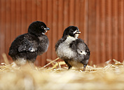 Two baby chickens standing on straw - SLF000377