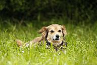 Mongrel lying on a meadow - SLF000341