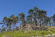 Spain, Canary Islands, Gran Canaria, Roque Bentaiga, Pine trees in Pinar de Pajonales - AMF002128