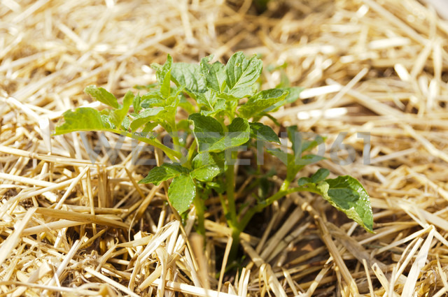 Young potato plant in straw covered bed - HAWF000098