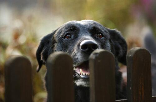 Portrait of black mongrel looking over garden fence - SLF000335