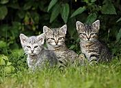 Three tabby kitten sitting in grass - SLF000344