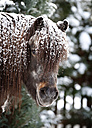 Germany, Baden Wuerttemberg, Shetland pony in winter, close up - SLF000393