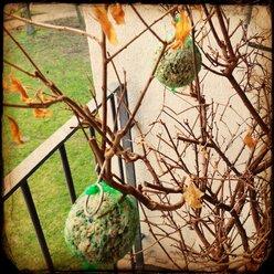 Fat balls in a tree, Bremen, Germany - NKF000094
