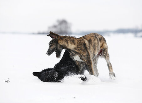 Irish Wolfhound puppy and black mongrel  playing together on snow-covered meadow - SLF000357