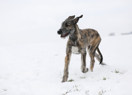 Irish Wolfhound puppy on snow-covered meadow - SLF000358