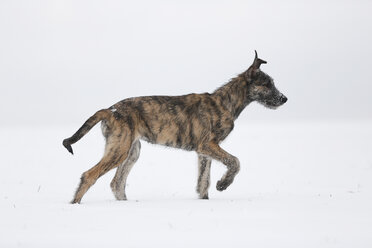 Irish Wolfhound puppy on snow-covered meadow - SLF000361