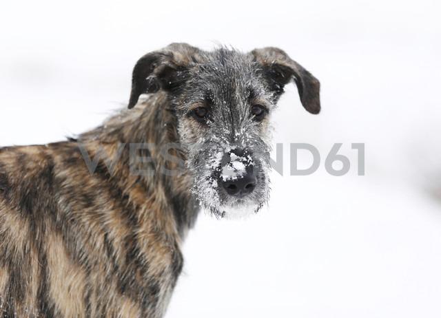 Portrait of Irish Wolfhound puppy with snow on snout - SLF000363 - Silke Klewitz-Seemann/Westend61