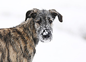 Portrait of Irish Wolfhound puppy with snow on snout - SLF000363
