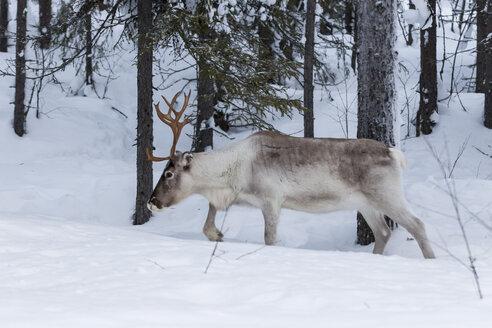 Scandinavia, Finland, Inari, Reindeer, Rangifer tarandus - SR000529