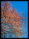 Blood plum, flowering tree (Prunus cerasifera 'Nigra'), Spring, Germany - CSF021240