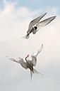 Germany, Schleswig-Holstein, Terns, sternidae - HACF000001